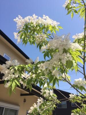 アオダモ 花
