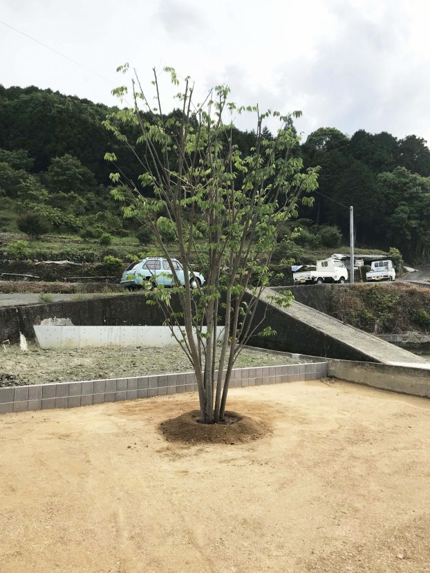 ケヤキ シンボルツリー