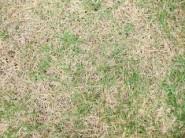 芝生の枯れる原因と対策