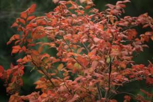 ナツハゼ 紅葉